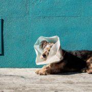 Laparoscopia cane collare elisabetta chirurgia endoscopica