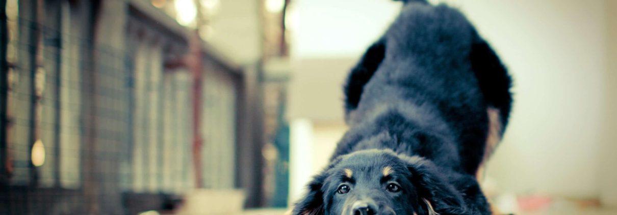 criptorchidismo cane