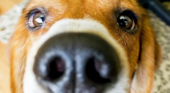 Le spighe forasacco nel cane l 39 insidia dell 39 estate for Interno naso