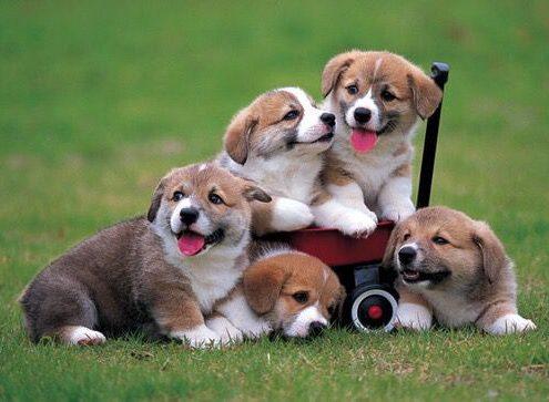 cuccioli-come-educarli