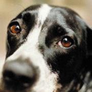 come riconoscere piometra cane
