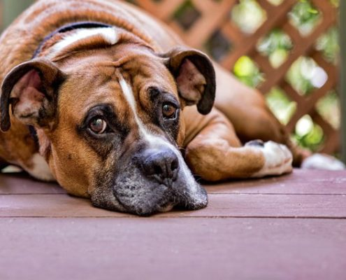 dolore articolare nel cane