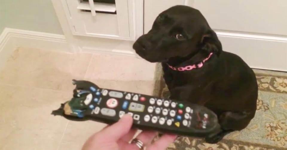 cane che mangia le feci con pica
