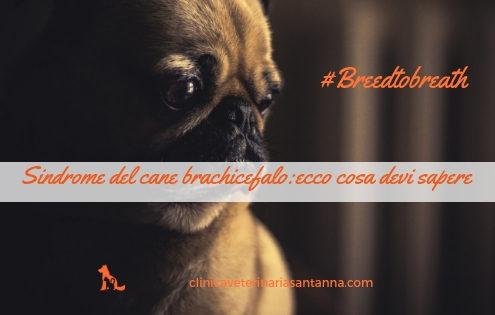 Sindrome del cane brachicefalo titolo