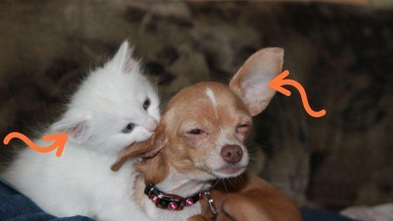 otoematoma nel cane e gatto
